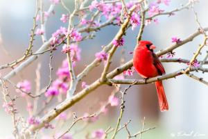 Red-Bud-Cardinal-small-file-1-of-1