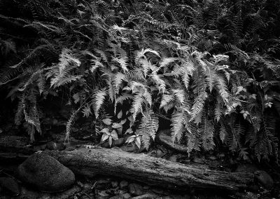 Ferns and Log- Laszlo Perlaky, Photography